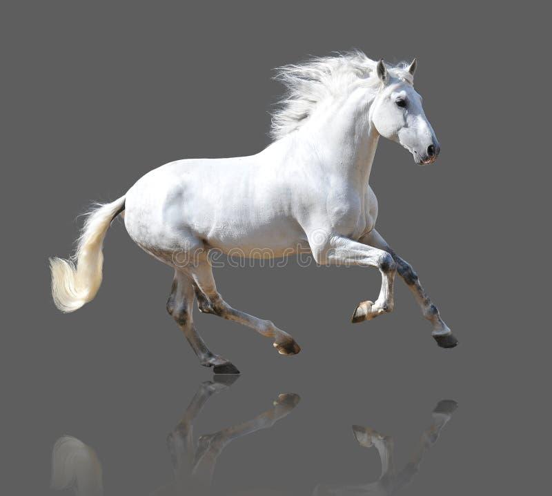 Άσπρο άλογο που απομονώνεται στον γκρίζο στοκ εικόνες με δικαίωμα ελεύθερης χρήσης