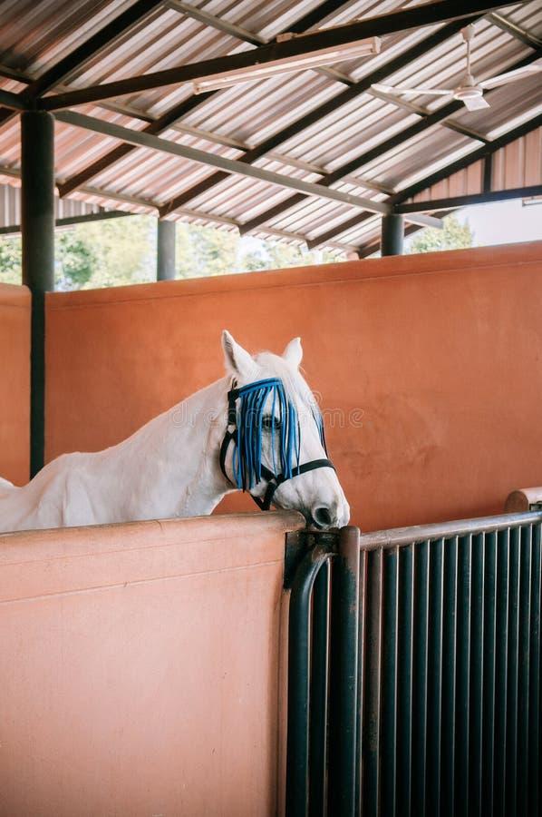 Άσπρο άλογο που στέκεται στη σιταποθήκη με την ξηρά χλόη στοκ φωτογραφίες με δικαίωμα ελεύθερης χρήσης