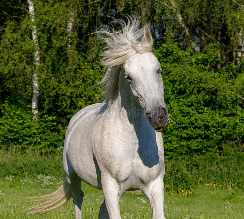 Άσπρο άλογο που τρέχει την άνοιξη το λιβάδι στοκ εικόνες με δικαίωμα ελεύθερης χρήσης