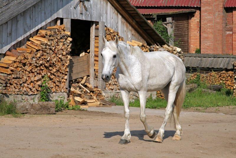 Άσπρο άλογο σε ένα αγροτικό ναυπηγείο στοκ φωτογραφία με δικαίωμα ελεύθερης χρήσης