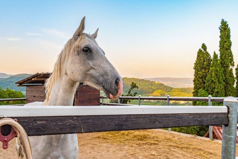 Άσπρο άλογο στην περίφραξή του στοκ φωτογραφίες με δικαίωμα ελεύθερης χρήσης