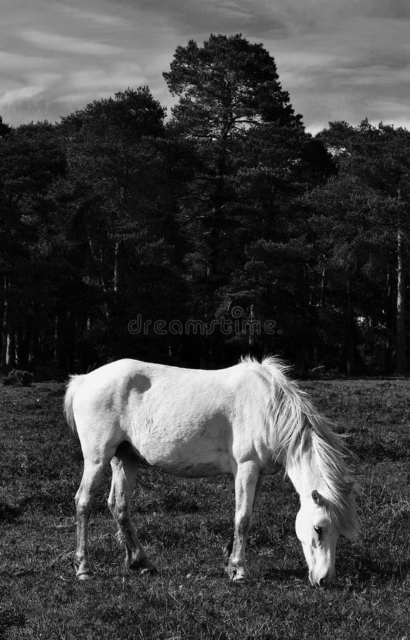 Άσπρο άλογο στο λιβάδι στοκ εικόνες με δικαίωμα ελεύθερης χρήσης
