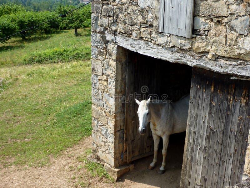 Άσπρο άλογο στο υπόστεγο στοκ εικόνες