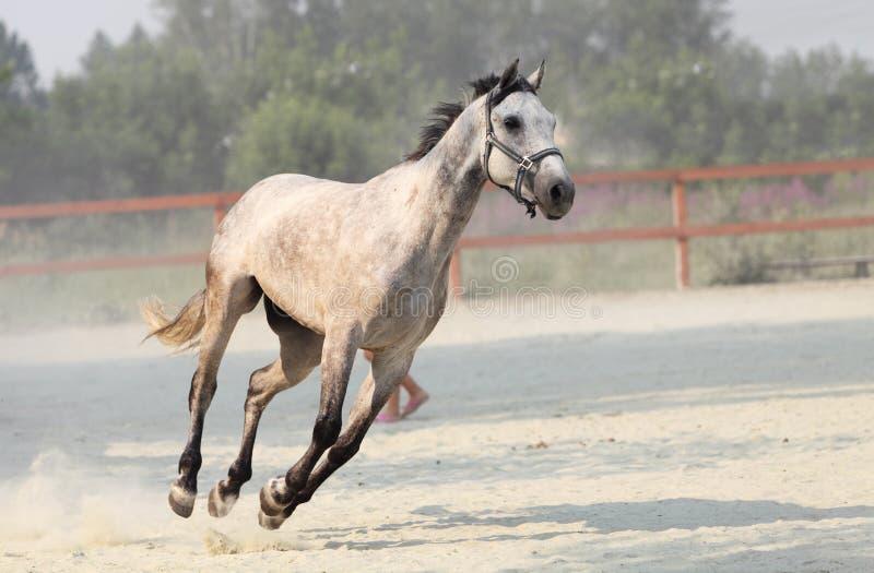 Άσπρο άλογο τρεξίματος στο αγρόκτημα στοκ φωτογραφία με δικαίωμα ελεύθερης χρήσης