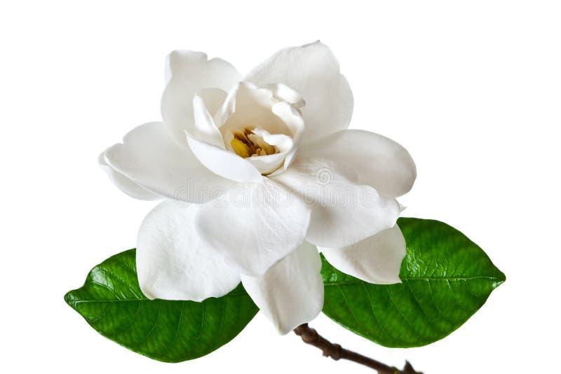 Άσπρο άνθος λουλουδιών Gardenia στοκ εικόνα με δικαίωμα ελεύθερης χρήσης