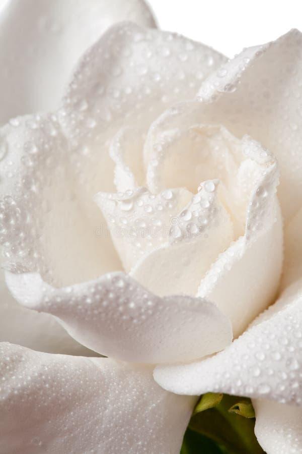 Άσπρο άνθος Gardenia που απομονώνεται στο λευκό στοκ φωτογραφία με δικαίωμα ελεύθερης χρήσης