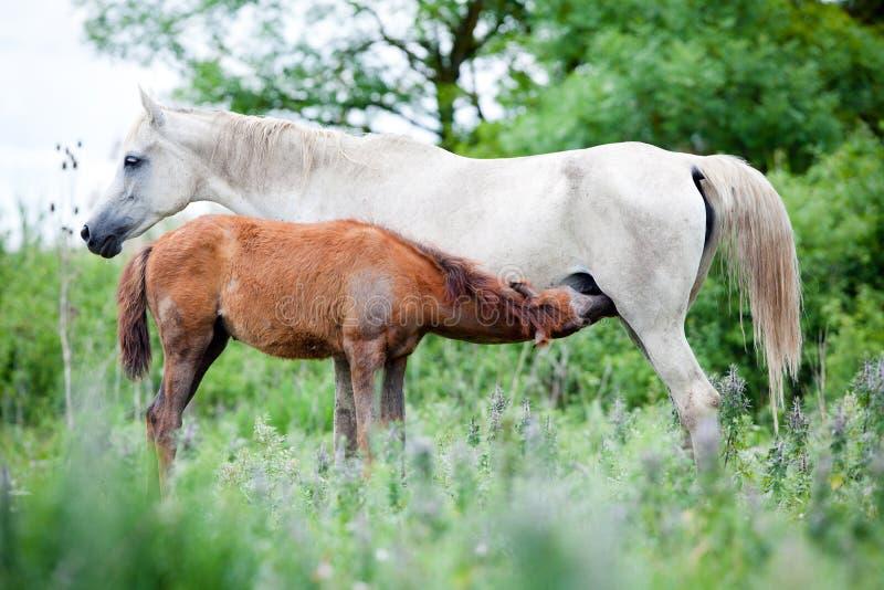 Άσπρο άλογο με foal στον τομέα. στοκ φωτογραφία