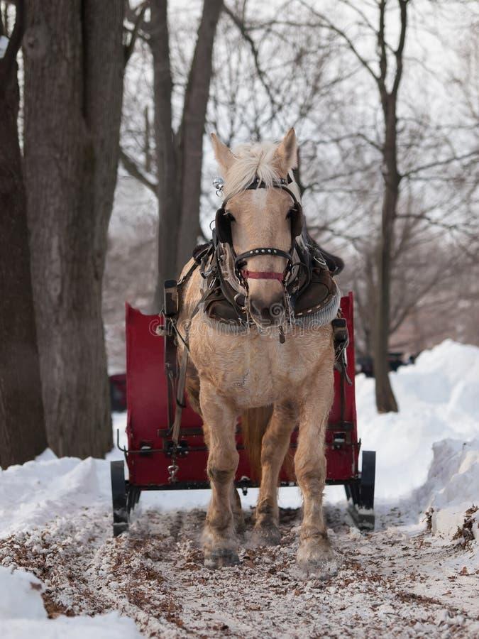 Άσπρο άλογο που τραβά το κόκκινο έλκηθρο στοκ εικόνες με δικαίωμα ελεύθερης χρήσης