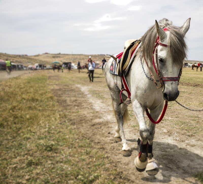 Άσπρο άλογο σε μια σειρά μαθημάτων αγώνων στοκ εικόνες