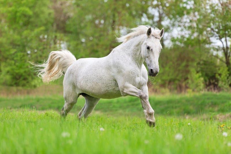 Άσπρο άλογο τρεξίματος στοκ εικόνες με δικαίωμα ελεύθερης χρήσης