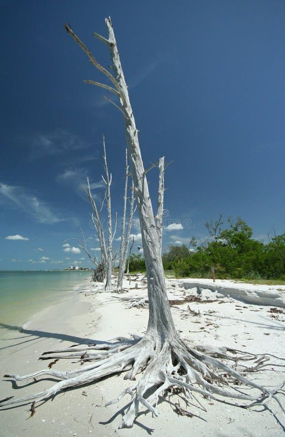Άσπρο δέντρο στην παραλία της Φλώριδας στοκ φωτογραφία με δικαίωμα ελεύθερης χρήσης