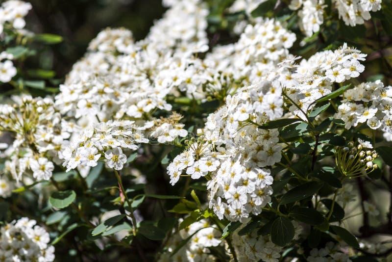 Άσπρο ανθίζοντας φυτό alyssum κάτω από την ελαφριά φωτογραφία ήλιων στοκ εικόνα