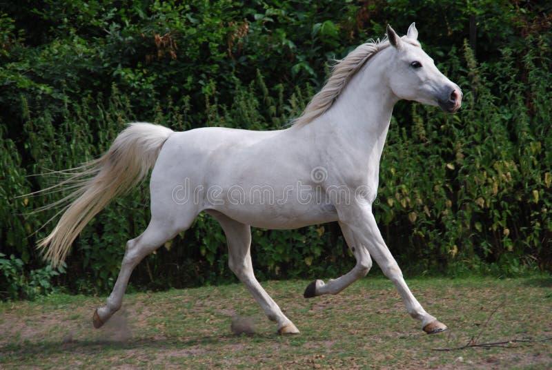 Άσπρο αραβικό άλογο στο τρέξιμο στοκ εικόνα με δικαίωμα ελεύθερης χρήσης