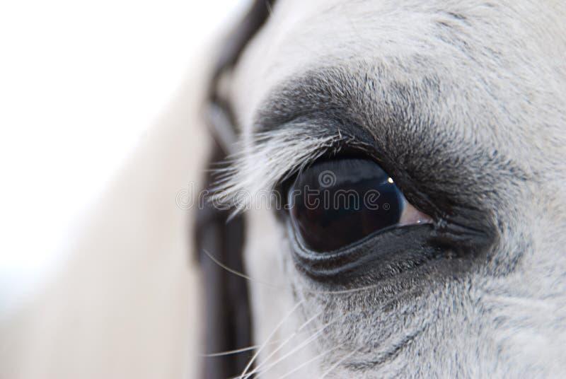 Άσπρο αραβικό μάτι αλόγων στοκ φωτογραφία με δικαίωμα ελεύθερης χρήσης