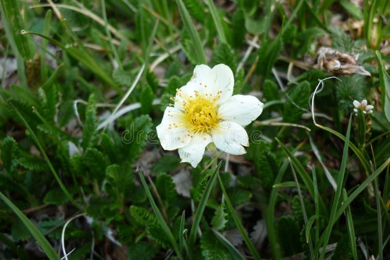Άσπρο αλπικό λουλούδι στοκ φωτογραφία με δικαίωμα ελεύθερης χρήσης