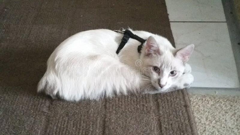 Άσπρο γατάκι στοκ εικόνες