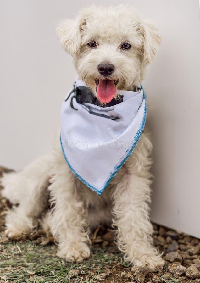 Άσπρο γαλλικό Poodle σκυλί στοκ εικόνες