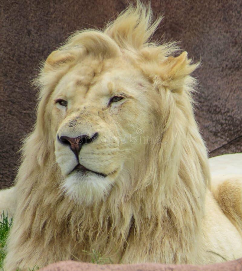 Άσπρο λιοντάρι στοκ φωτογραφίες