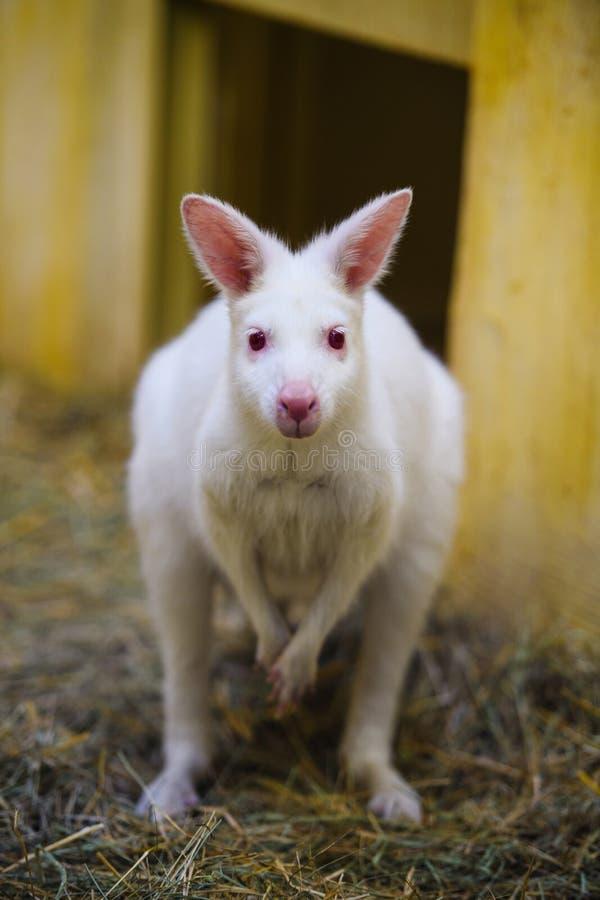 άσπρο καγκουρό στο ζωολογικό κήπο στοκ φωτογραφίες