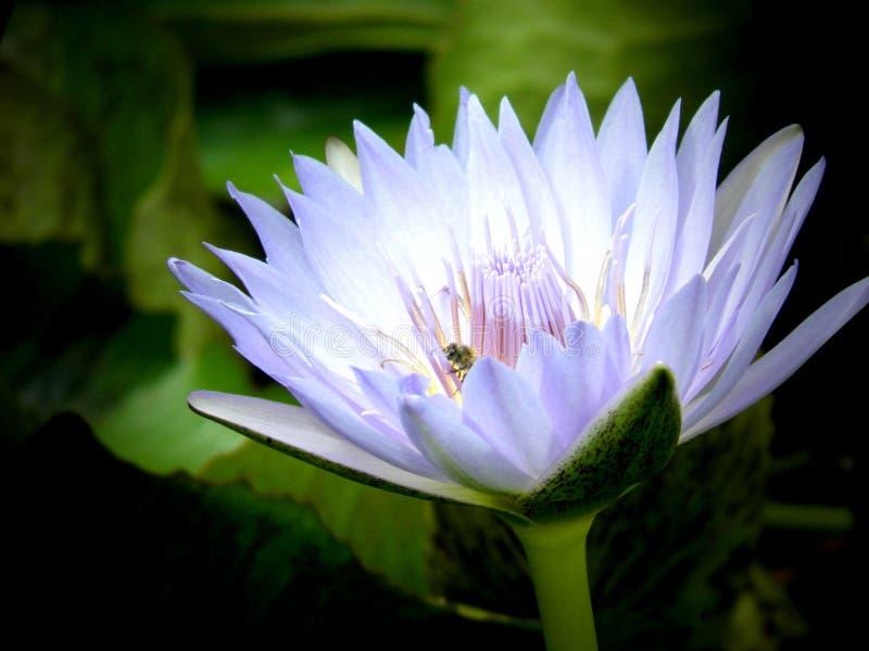 Άσπρο και ιώδες υδρόβιο λουλούδι κρίνων με τη σκοτεινή πλάτη στοκ εικόνα