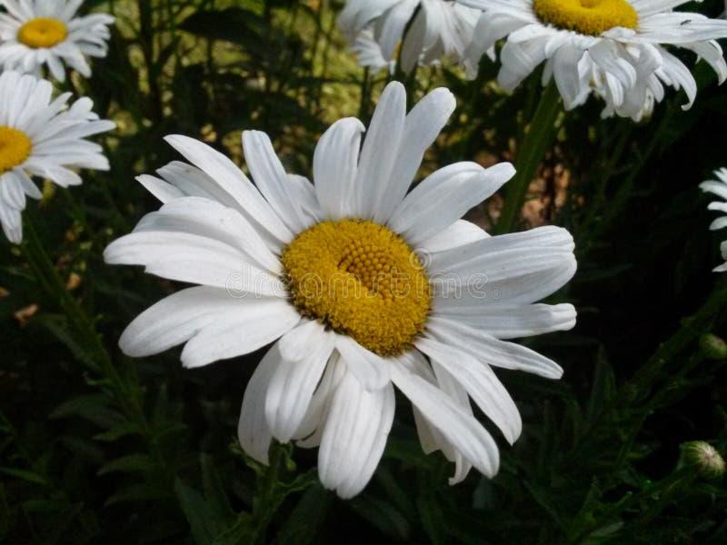 Άσπρο και κίτρινο λουλούδι κήπων του Τένεσι στοκ εικόνα με δικαίωμα ελεύθερης χρήσης