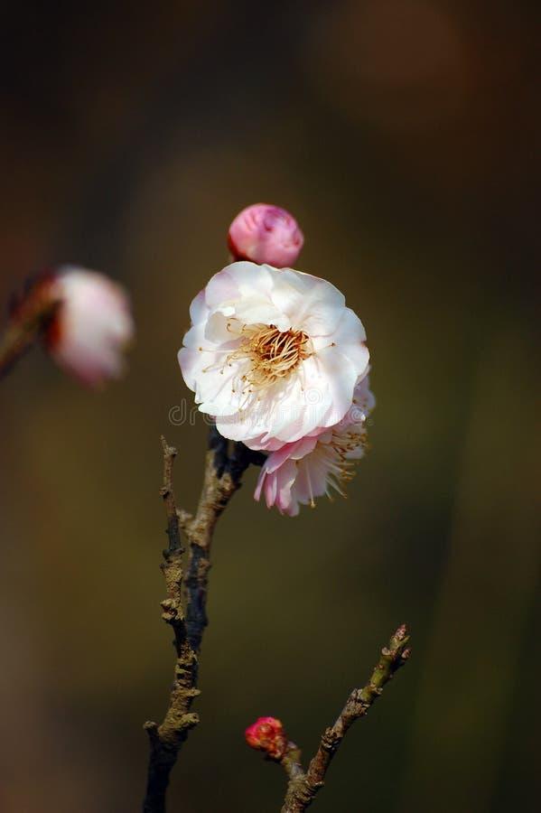 Άσπρο και ρόδινο άνθος δαμάσκηνων στοκ εικόνα με δικαίωμα ελεύθερης χρήσης