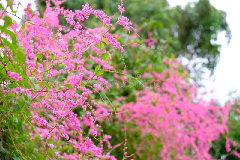 Άσπρο και ρόδινο μεξικάνικο αναρριχητικό φυτό λουλουδιών, μέλισσα Μπους, άμπελος κοραλλιών, κοβάλτιο στοκ εικόνες με δικαίωμα ελεύθερης χρήσης