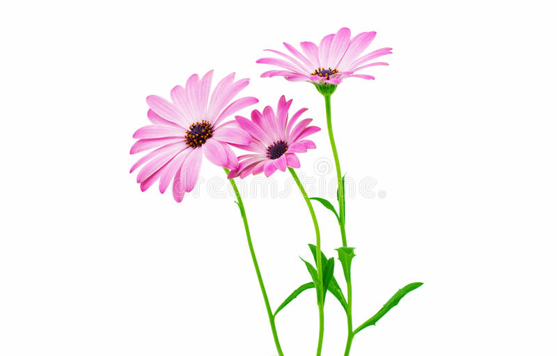 Άσπρο και ρόδινο Osteospermum Daisy ή λουλούδι λουλουδιών της Daisy ακρωτηρίων στοκ φωτογραφία με δικαίωμα ελεύθερης χρήσης