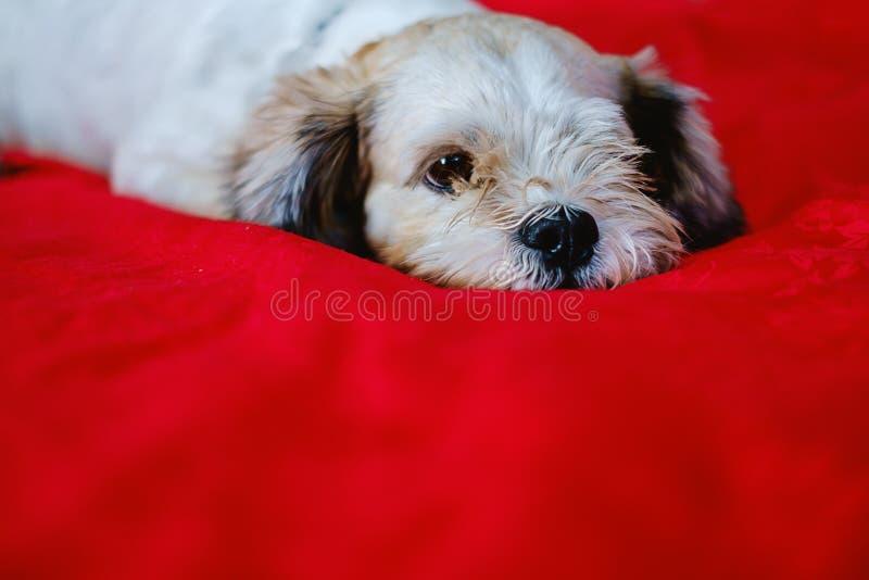 Άσπρο κοντό σκυλί tzu Shih τρίχας Cutely στο κόκκινο υπόβαθρο υφάσματος στοκ εικόνες