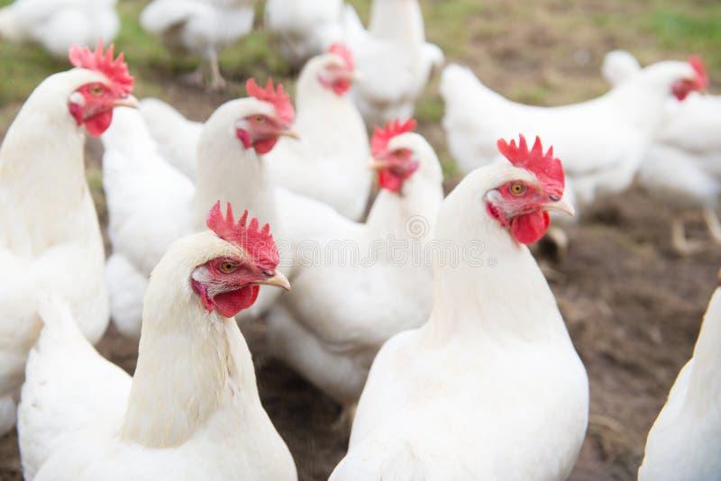 Άσπρο κοτόπουλο στοκ εικόνα με δικαίωμα ελεύθερης χρήσης