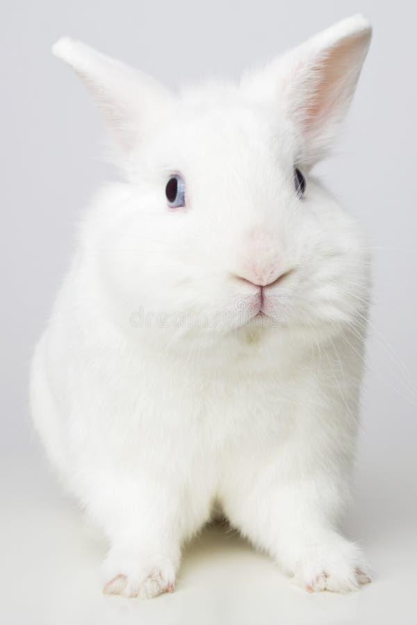 Άσπρο κουνέλι στοκ εικόνα με δικαίωμα ελεύθερης χρήσης