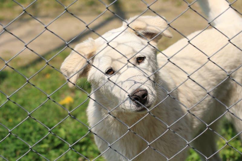 Άσπρο κουτάβι σκυλιών πίσω από έναν φράκτη που εξετάζει χαριτωμένο τη κάμερα στοκ εικόνα