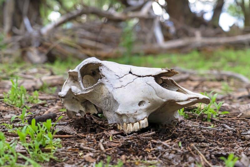 Άσπρο κρανίο ενός νεκρού ζώου στο δάσος με τα δέντρα στο μουτζουρωμένο υπόβαθρο στοκ εικόνα με δικαίωμα ελεύθερης χρήσης