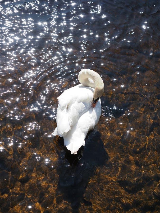 Άσπρο κύκνων σε έναν ποταμό μια ηλιόλουστη ημέρα στοκ φωτογραφίες