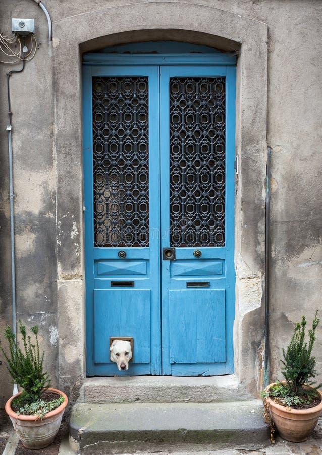 Άσπρο Λαμπραντόρ με επικεφαλής να κολλήσει από το catflap στην μπλε ξύλινη πόρτα στοκ φωτογραφία