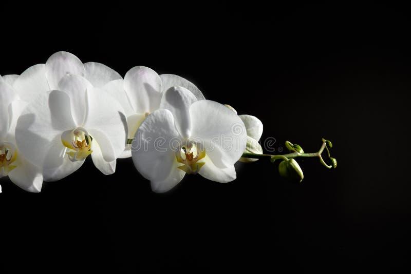 Άσπρο λεπτό λουλούδι ορχιδεών σε ένα σκοτεινό υπόβαθρο στοκ φωτογραφίες με δικαίωμα ελεύθερης χρήσης