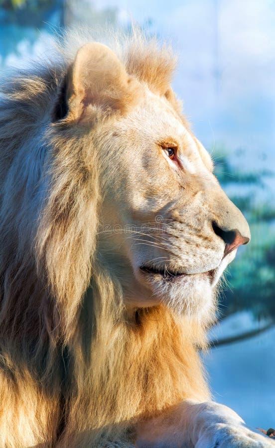 Άσπρο λιοντάρι Ένας στοχαστικός εξετάζει την απόσταση Ζωικό αρπακτικό ζώο στις άγρια περιοχές στοκ φωτογραφίες