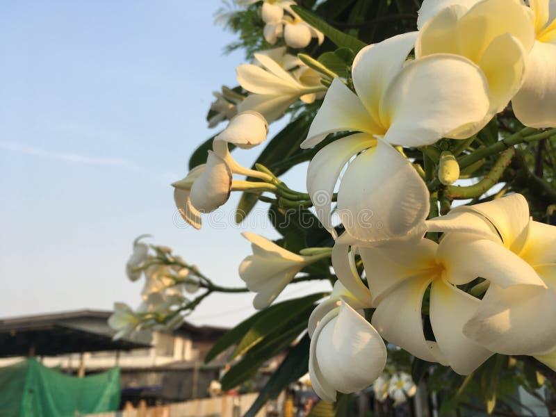 Άσπρο λουλούδι και σαφής ουρανός στοκ εικόνες