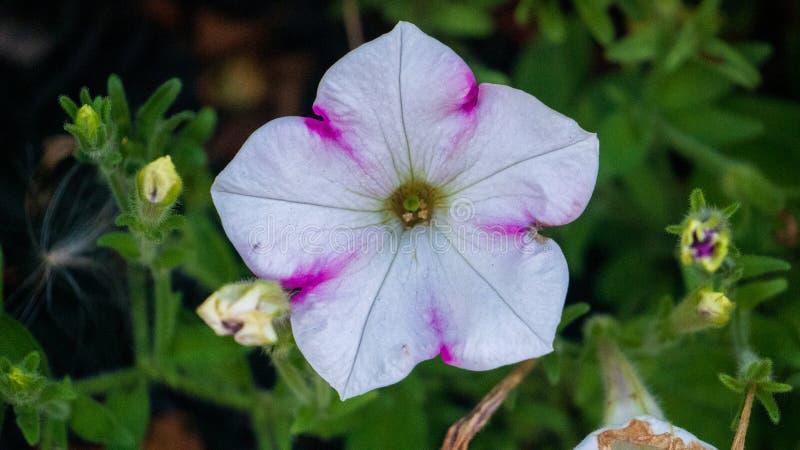 Άσπρο λουλούδι με τις ρόδινες εμφάσεις στοκ εικόνες