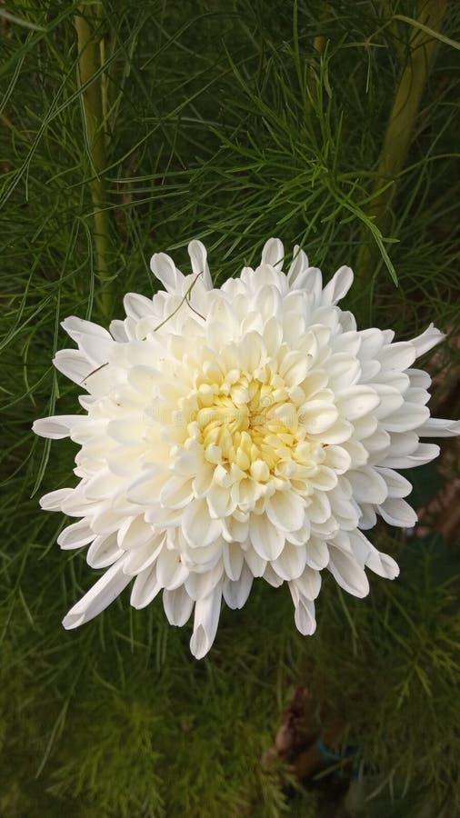 Άσπρο λουλούδι που χαμογελά πριν από την ηλιοφάνεια στοκ φωτογραφία με δικαίωμα ελεύθερης χρήσης