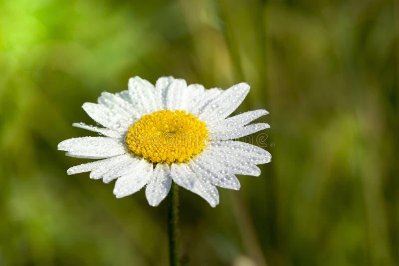 Άσπρο λουλούδι της Daisy στοκ εικόνα με δικαίωμα ελεύθερης χρήσης