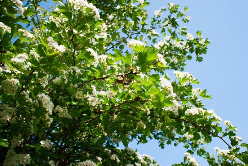Άσπρο λουλούδι του κραταίγου midland Λευκό υποβάθρου φύσης άνοιξη στοκ εικόνες με δικαίωμα ελεύθερης χρήσης