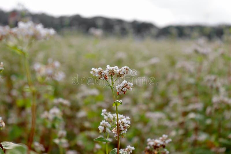 Άσπρο λουλούδι φαγόπυρου σε έναν πράσινο τομέα Κινηματογράφηση σε πρώτο πλάνο ενός λουλουδιού στο πάρκο στοκ εικόνες με δικαίωμα ελεύθερης χρήσης