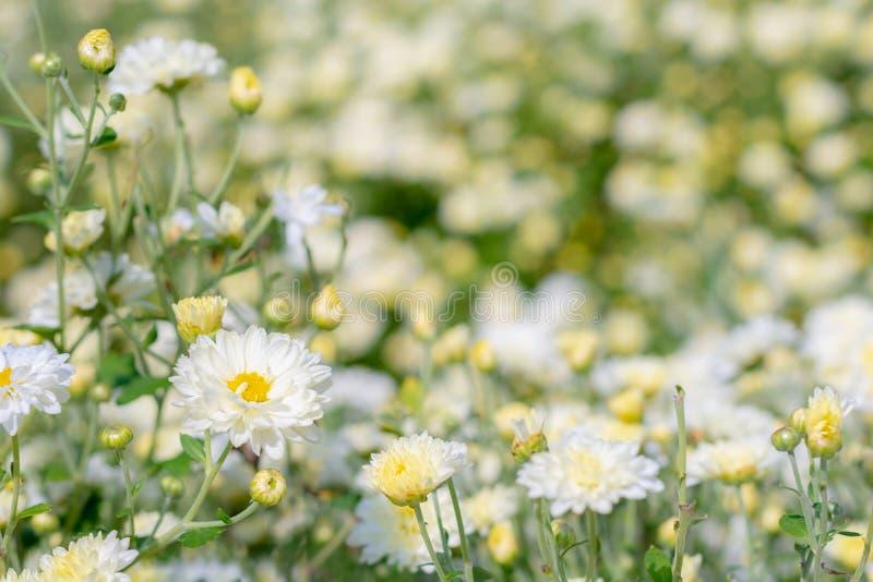 Άσπρο λουλούδι χρυσάνθεμων στον τομέα φυτειών για την παραγωγή της κινεζικής βοτανικής ιατρικής στοκ φωτογραφίες