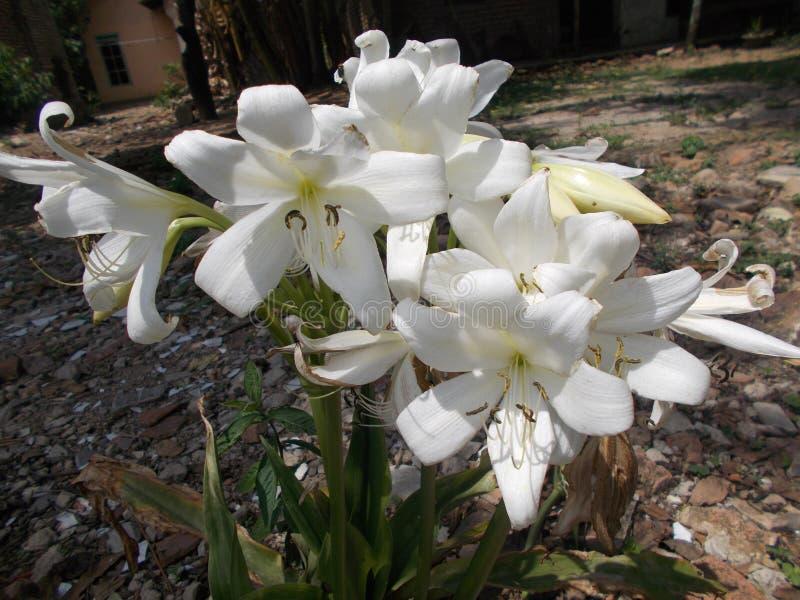 Άσπρο λουλούδι amaryllis στοκ φωτογραφίες