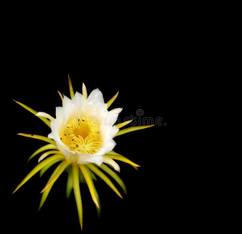 Άσπρο λουλούδι dragonfruit πέρα από το Μαύρο στοκ φωτογραφία με δικαίωμα ελεύθερης χρήσης