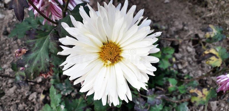 Άσπρο λουλούδι Gerbera, ταπετσαρία υποβάθρου κινηματογραφήσεων σε πρώτο πλάνο στοκ εικόνα με δικαίωμα ελεύθερης χρήσης