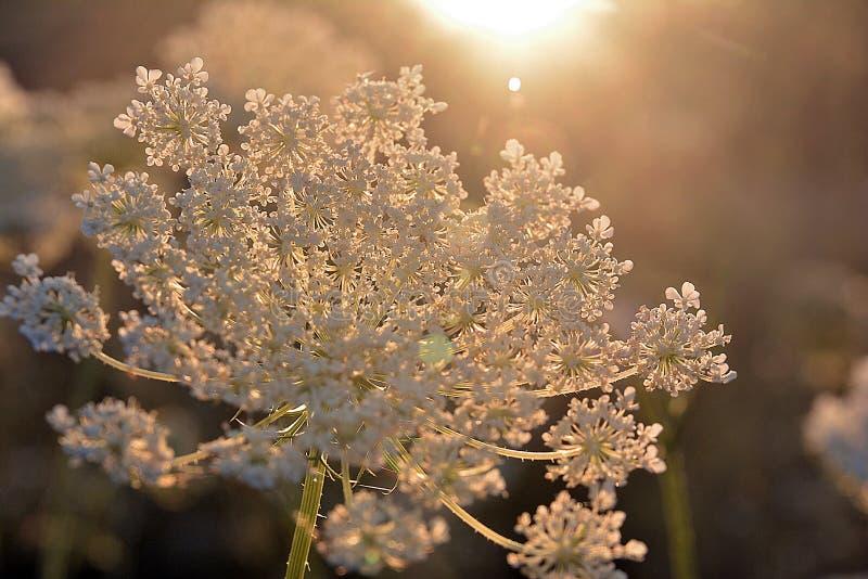 άσπρο λουλούδι illumines φωτός του ήλιου, milfoil στοκ εικόνες