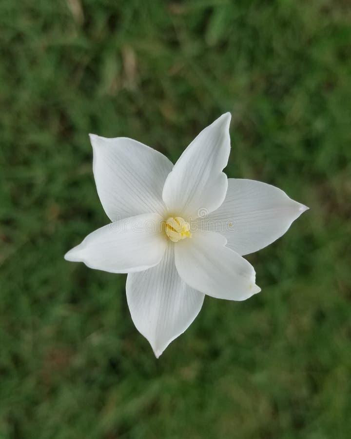 Άσπρο λουλούδι Starburst στοκ εικόνα με δικαίωμα ελεύθερης χρήσης