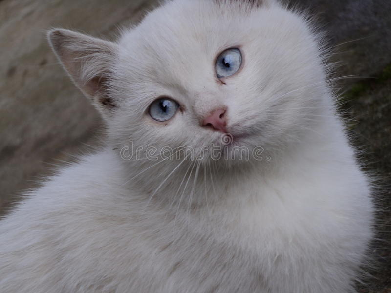 Άσπρο μάτι γατών στοκ εικόνες με δικαίωμα ελεύθερης χρήσης